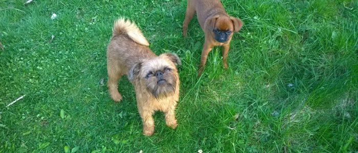 Ingela och griffisarna_hundar i gräs
